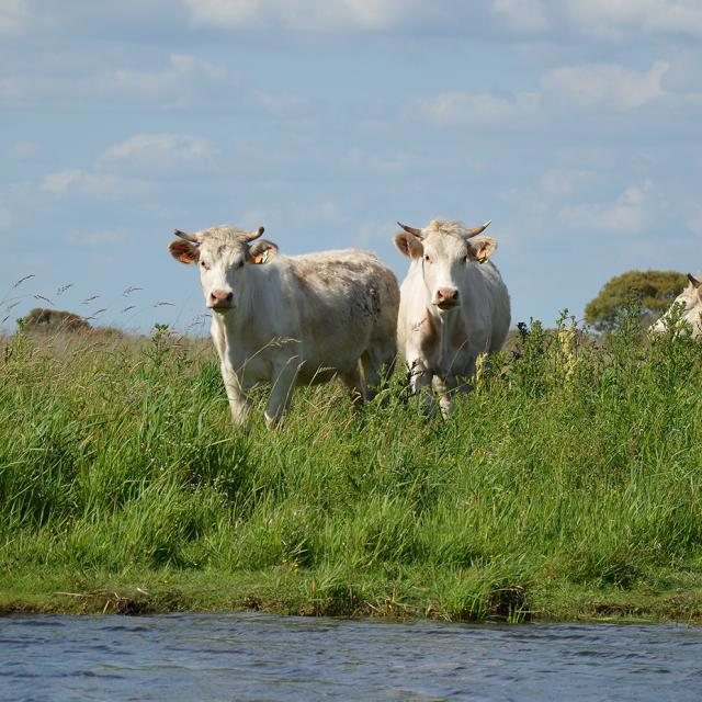 vaches-en-briere-web.jpg